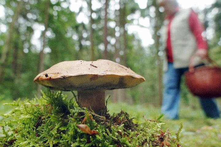 Oft kehren die Pilzsammler im Moment mit leeren Körben aus den Wäldern zurück.