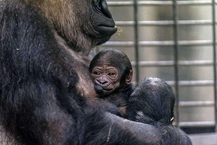 Völlig überraschend kam das kleine Affen-Baby am Mittwoch zur Welt.