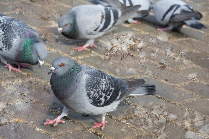 Taubenkot schadet der Bausubstanz, der Einsatz von seinen Wüstenbussarden und Falken ist eine der Maßnahmen des Domkapitels zur Taubenvergrämung. (Symbolbild)