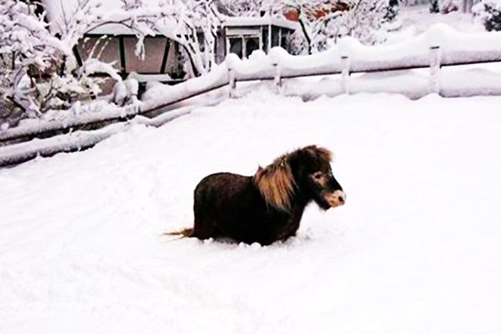 Mini-Shetlandponys freuen sich über Schnee: Sie werfen sich rein und wälzen sich darin.