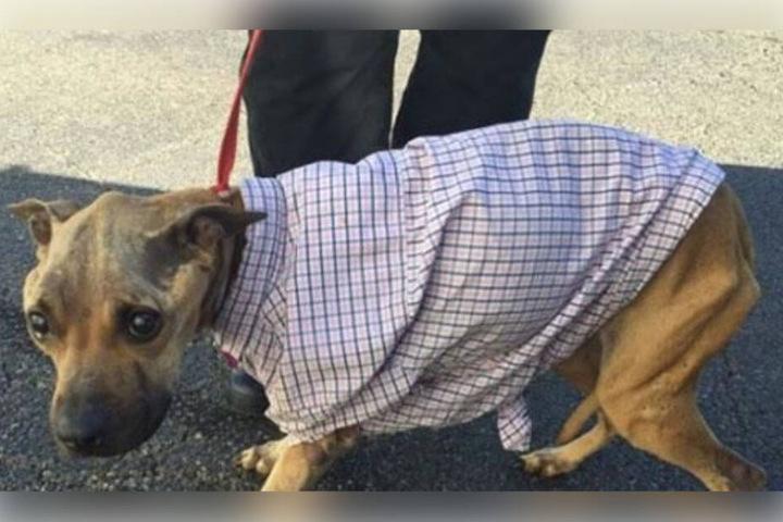 Der Pitbull-Mischling war nur notdürftig mit einem Hemd bekleidet.