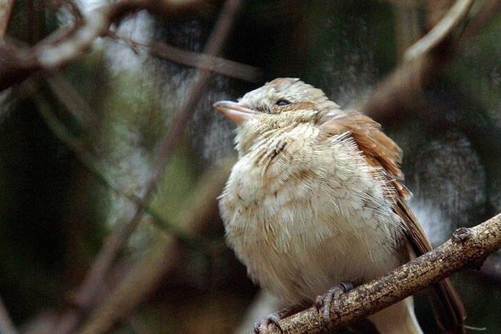 """Die Wildpferde verhindern die Verbuschung der Bergbaulandschaft. Dadurch können sich viele selten gewordene Vögel (hier: """"Neuntöter"""") wieder in dem Gebiet ansiedeln."""