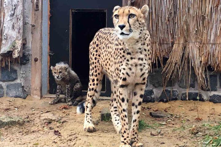 Das Geparden-Baby war schon schwer von der Krankheit gezeichnet.