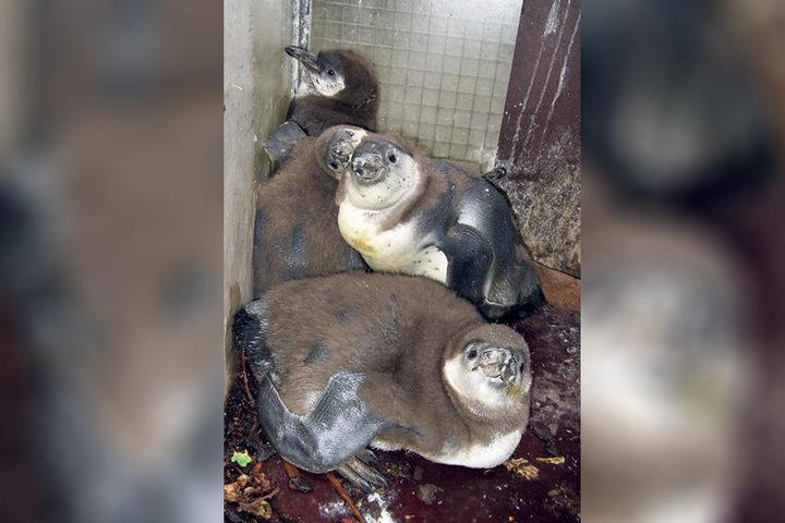 """Die """"Neuen"""" für Limbach-Oberfrohna, kurz nachdem sie im Dortmunder Zoo  geschlüpft sind."""