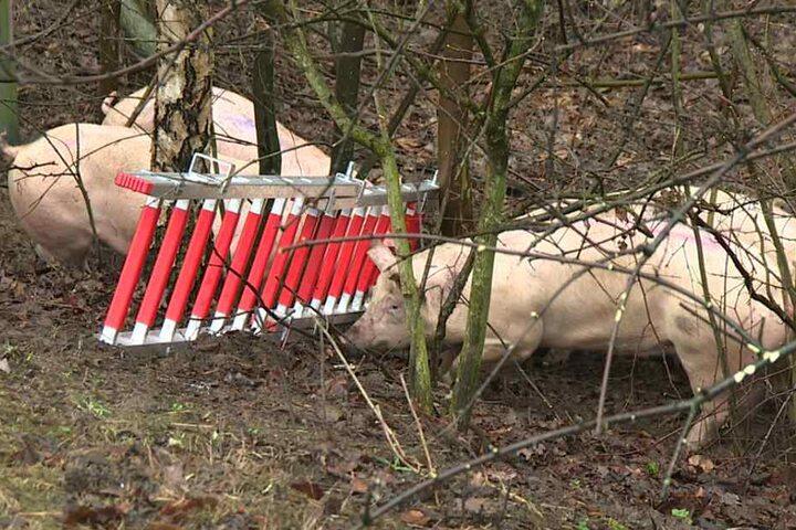 Einige Schweine flüchteten aus dem kaputten Schweine-Transporter.