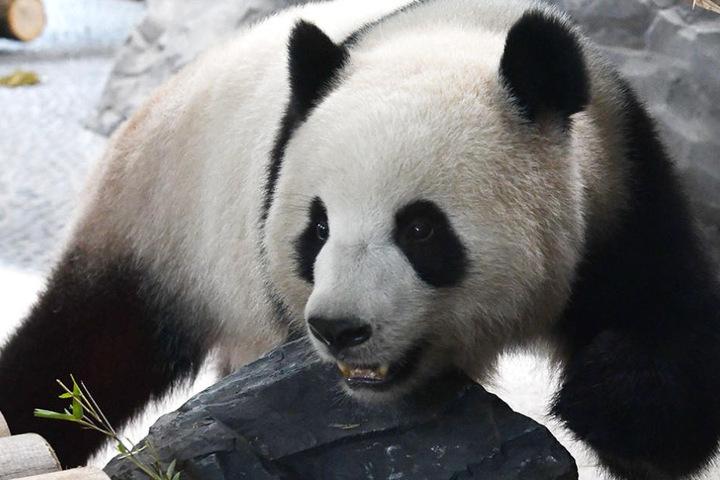 Meng Meng läuft auffällig oft rückwärts in ihrem Gehege. Sie soll damit ausdrücken, dass die Panda-Dame etwas nicht mag.