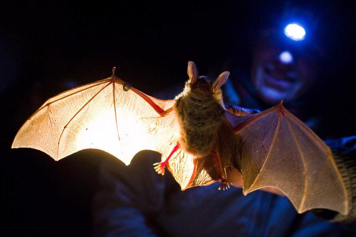 Experten untersuchen eine Fledermaus. (Symbolbild)