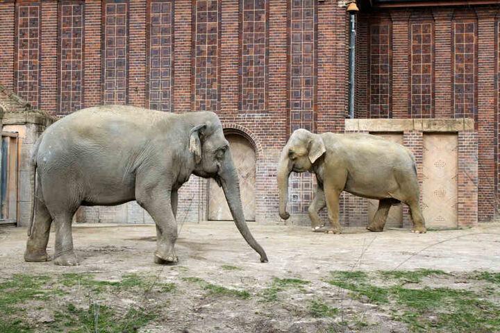 Saida (links) und Thura zusammen auf der Außenanlage. Die Elefanten-Freundinnen hatten noch Gelegenheit, sich voneinander zu verabschieden.