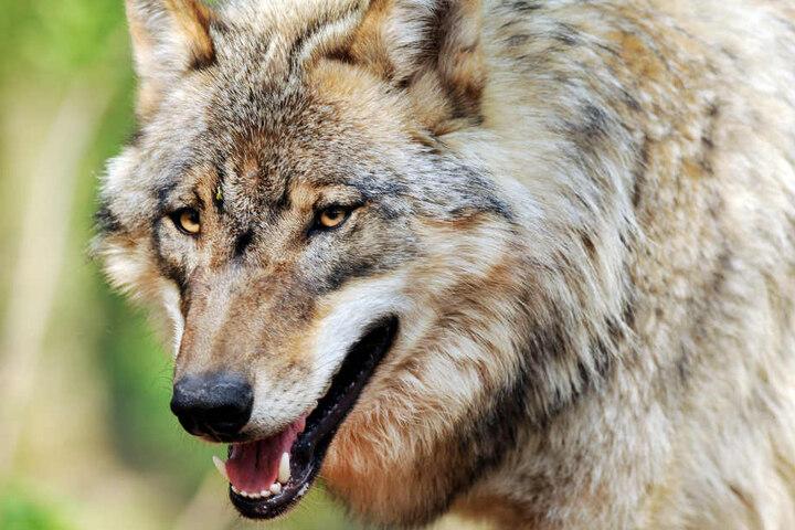 Wölfe sind seit Jahren immer öfter auch in Deutschland wieder zu sehen. (Symbolbild)