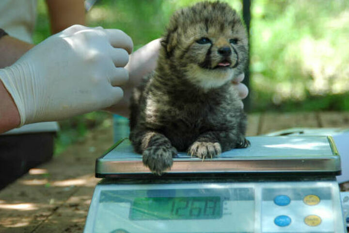 Drei kleine Geparden-Babys hatte Mutter Sima zur Welt gebracht.