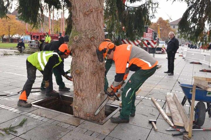 Bereits 2016 war es schwer, den tonnenschweren Baum zu verankern. Wie wird es mit er Riesentanne in diesem Jahr sein?