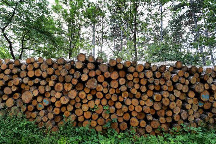 Stämme von gefällten Schwarzkiefern liegen auf dem Volkenberg am Rande eines Waldweges. Waldbesitzer fürchten Milliardenschäden durch Dürre und Borkenkäfer-Plage.
