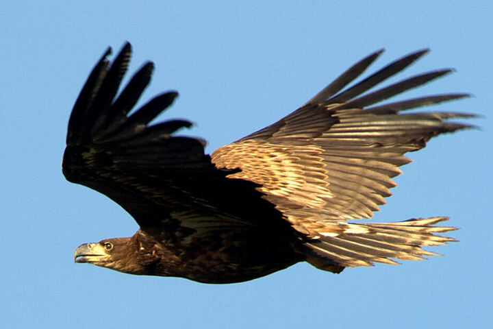 Ein Seeadler schwebt durch die Luft.
