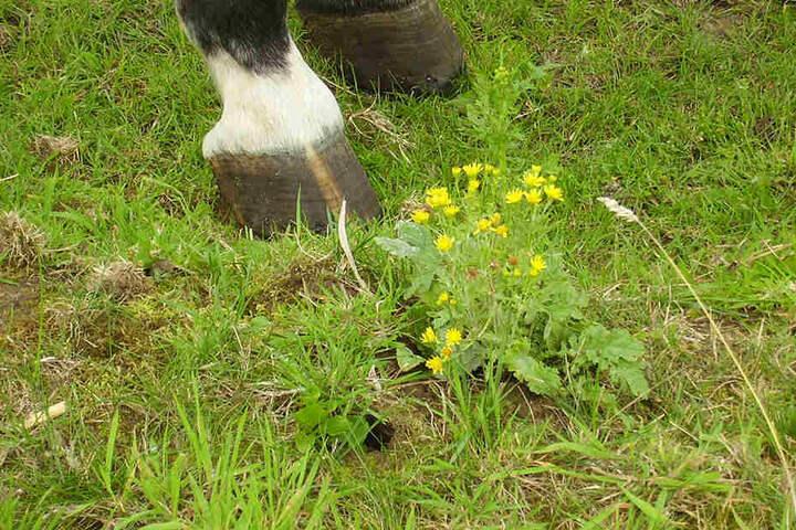 Vor allem Weidetiere wie Pferde oder Rinder sind gefährdet.