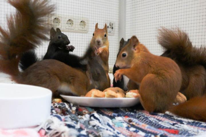 Der Hitzesommer hat viele Eichhörnchen-Babys zu Waisen gemacht.