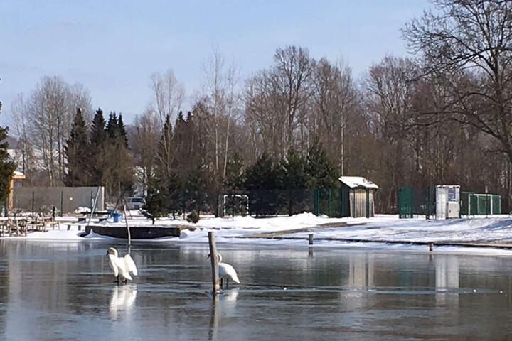 Nach der Rettungsaktion stolzierte das Schwanenpaar wieder fidel übers Eis.