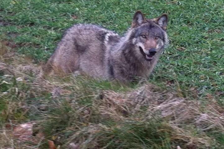 Der Wolf ist nirgendwo aufzufinden.