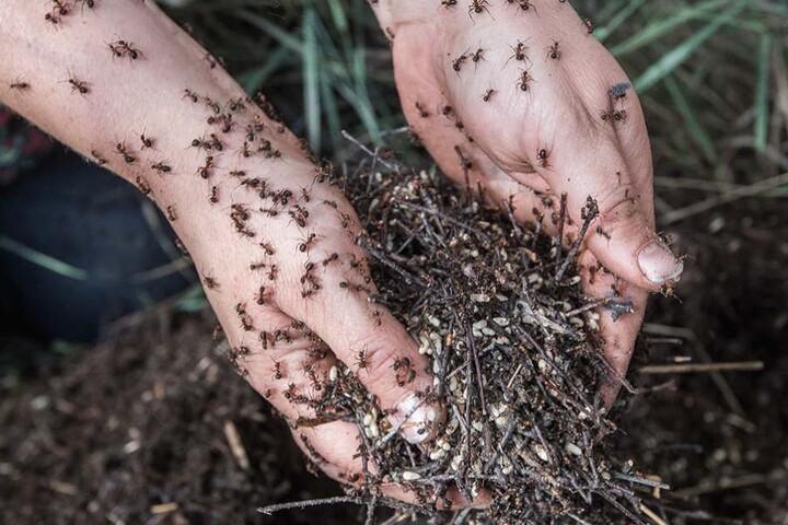 Das krabbelt, juckt und brennt. Ameisenumzugshelferin ist ein schmerzhafter aber wichtiger Job.