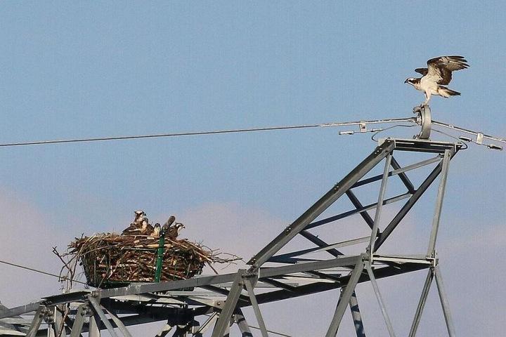 Fischadler bei Hartenstein brüten auf einem Strommast.
