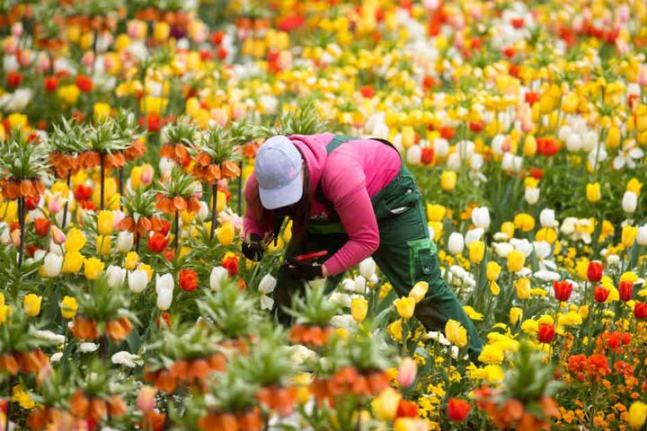 So professionell pflanzen Gärtner meist nur bei Blumenschauen ihre Pflanzen in die Erde.