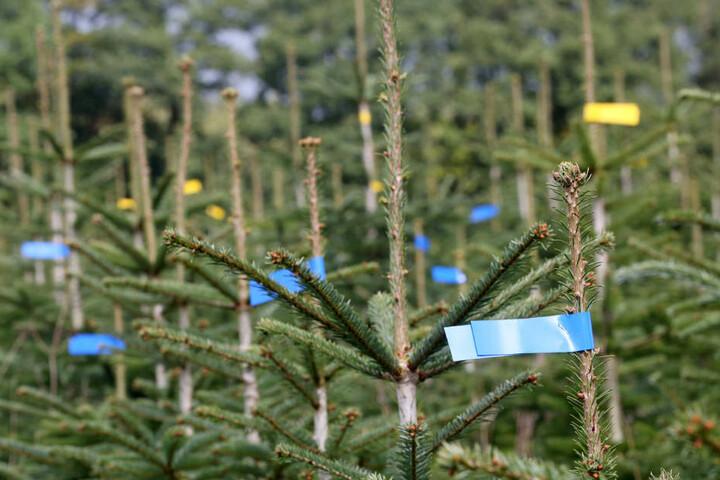 Die Diebe ließen unerkannt 200 Tannenbäume mitgehen. (Symbolbild)