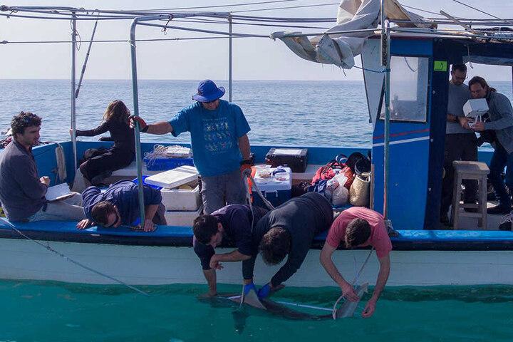 Ein Sandbankhai wird von Forschern von der Universität Haifa vor der Küste der nordisraelischen Stadt Chadera untersucht.