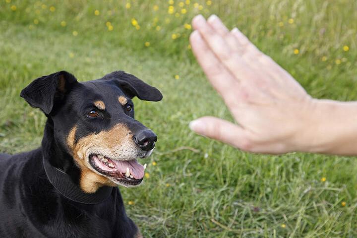 Dobermänner sind schöne, aber nicht ganz ungefährliche Hunde.
