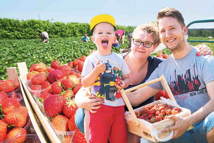 Auf die Felder, fertig, los! Auf Sachsens Erdbeer-Plantagen werden jetzt  Selbstpflücker gebraucht. Erntespaß für die ganze Familie! Kasia (26) und Oliver (29) pflückten mit  Söhnchen Benjamin (3) auf Gut Pesterwitz Erdbeeren.