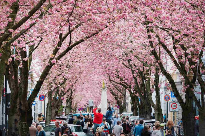 Die Kirschblüte in Bonn ist ein beliebtes Foto-Motiv, das jedes Jahr viele Touristen anlockt.