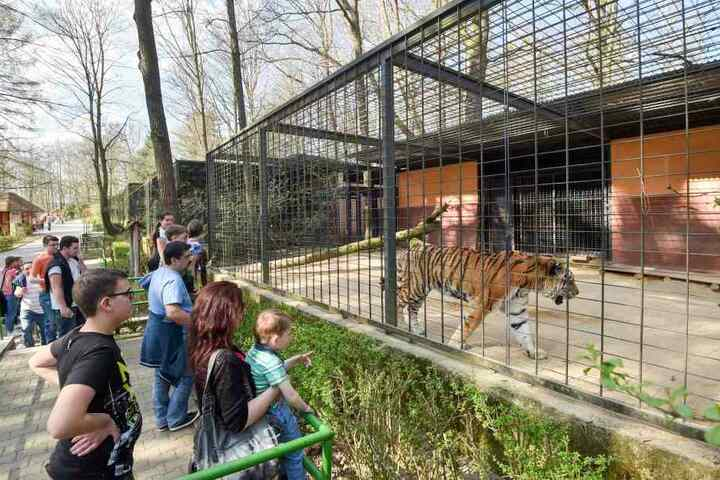 Im Tierpark Chemnitz sieht es mau aus. Können die Tiger wieder mehr Besucher locken?