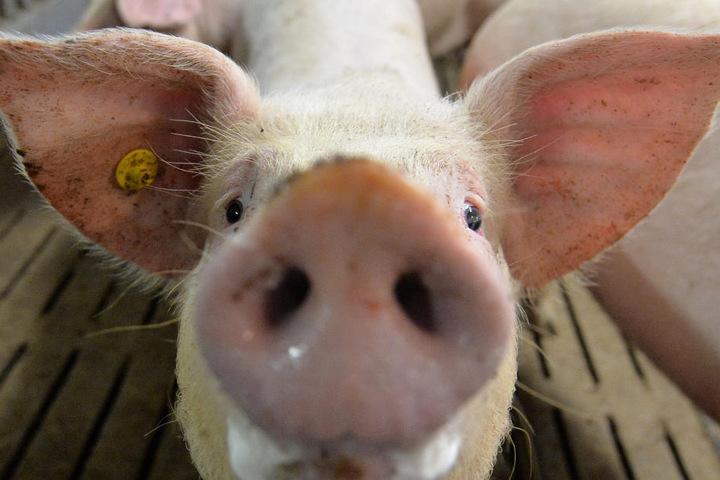 Ein Mastschwein in einem Mastbetrieb in Lindern (Niedersachsen) im Stall.
