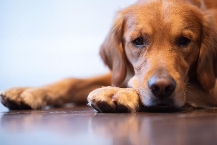 Therapiehund Watson liegt auf dem Boden.