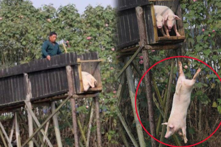 Unglaubliche Bilder: Hier fliegen Schweine.