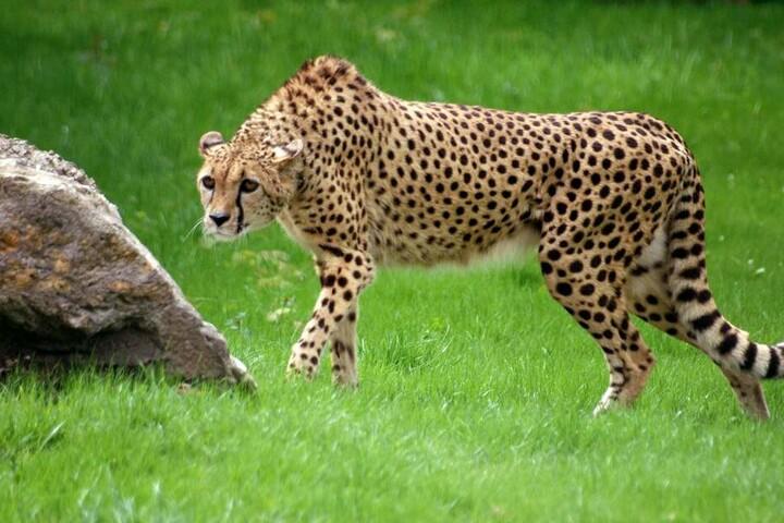 Seit 2010 leben Geparden im Opel-Zoo.