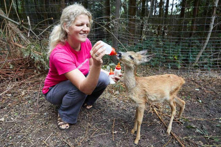 Katharina Erdmann, ehrenamtliche Wildtierpflegerin und Leiterin, füttert ein Rehkitz in der Wildtierstation Hamburg/Schleswig-Holstein mit einer Milchflasche. Hier werden in Not geratene Tiere wieder aufgepäppelt.