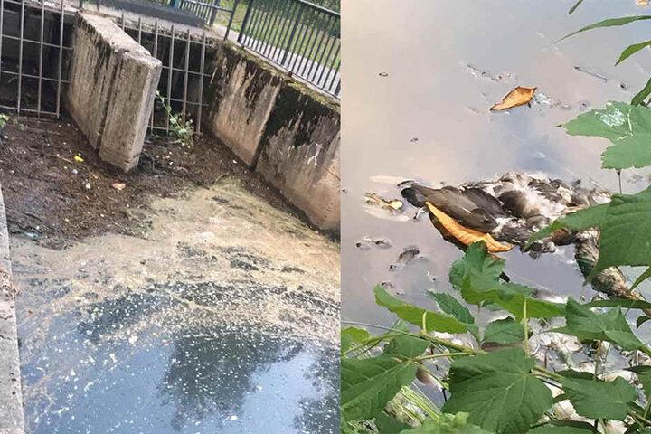 Das Wehr ist vermüllt und auch tote Enten schwimmen im Schlossteich.