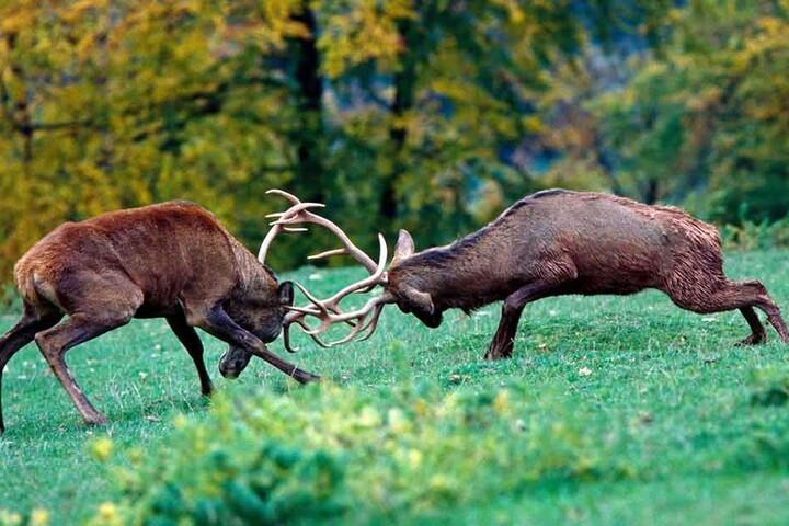 """Zwei Hirsche duellieren sich auf einer Waldlichtung um ein Revier. """"Vor allem nach Regen kommt das Wild heraus"""", sagt der erfahrene Tierfotograf Harald Lange."""