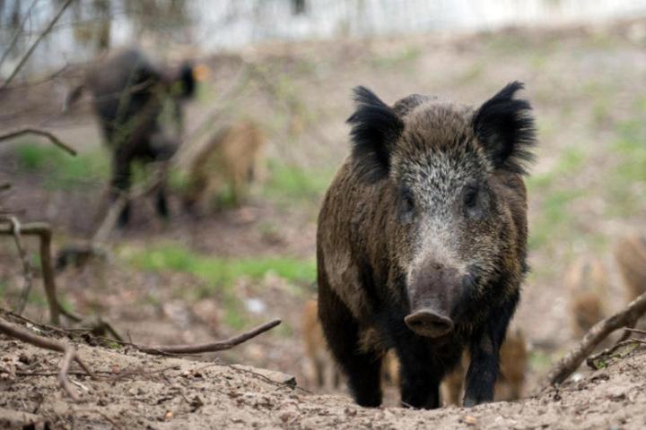 Gefahr: Deutsche Wildschweine könnten Essensreste an Raststätten fressen, das Virus so weiterverbreiten. (Symbolbild)