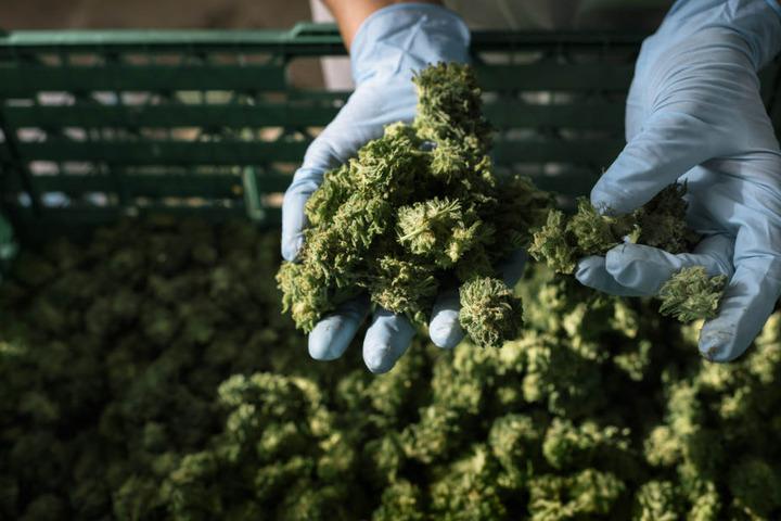 Knospen von Cannabis.