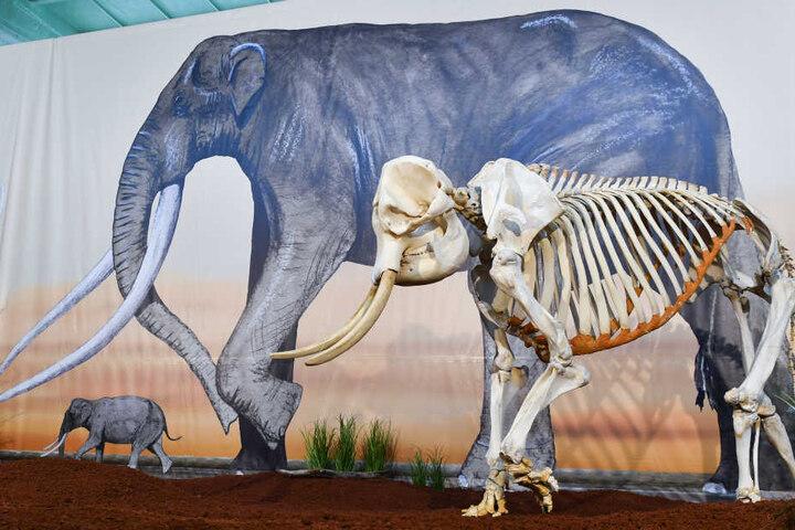 """Das Skelett von """"Marina"""" ist zurück in Erfurt."""