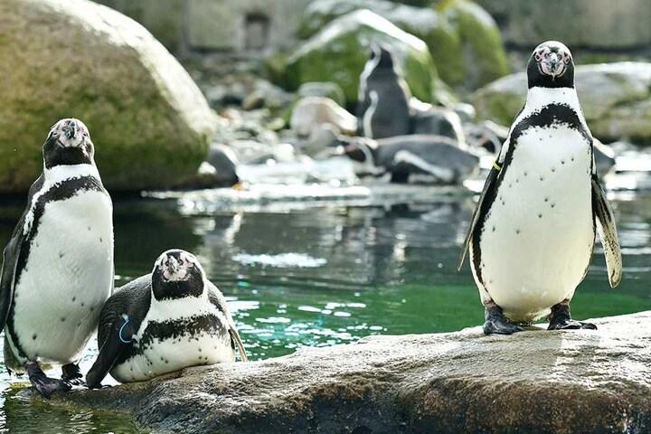 Ei, Ei, Ei: Wird's bis zur Eröffnung auch Nachwuchs bei den Pinguinen geben?