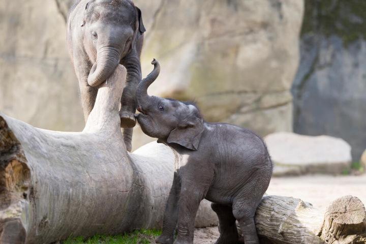 Auch miteinander haben die Elefanten-Jungen jede Menge Spaß.