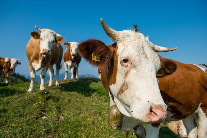 Die Kühe gingen über die Straße, verschwanden dann wieder. (Symbolbild)