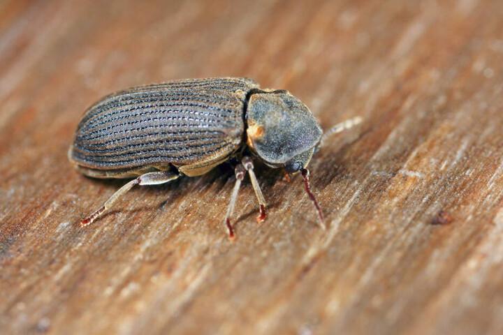 Den Insekten rückte eine Spezialfirma mit der Giftkeule zuleibe