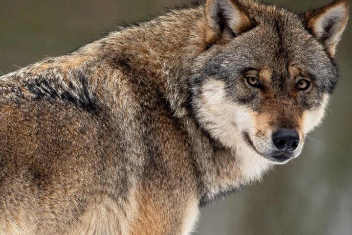 Einzelne Wölfe ziehen immer wieder durch Hessen (Symbolbild).