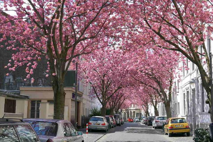 In Bonn blühen wieder Kirschen. (Archivbild)