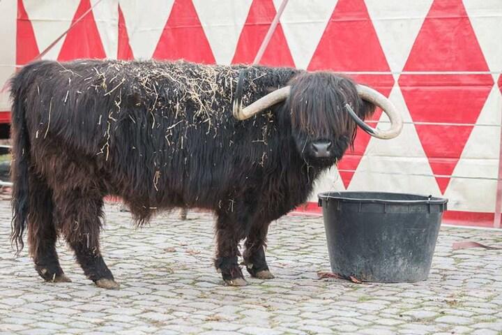Wie viele Zirkusfans das schottische Rind sieht, bleibt hinter dem dicken Zottelfell verborgen. Aber den Beifall wird es hören.