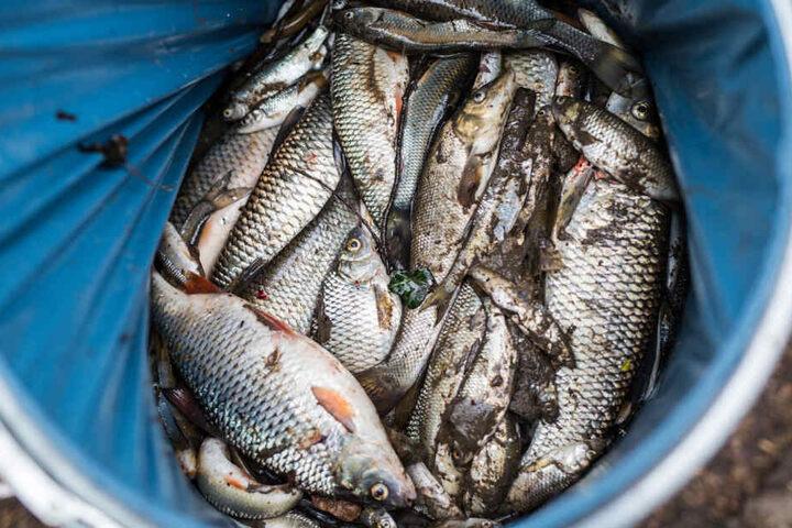 Tote Fische liegen vergangenen Freitag in einer Tonne der Feuerwehr Heilbronn.