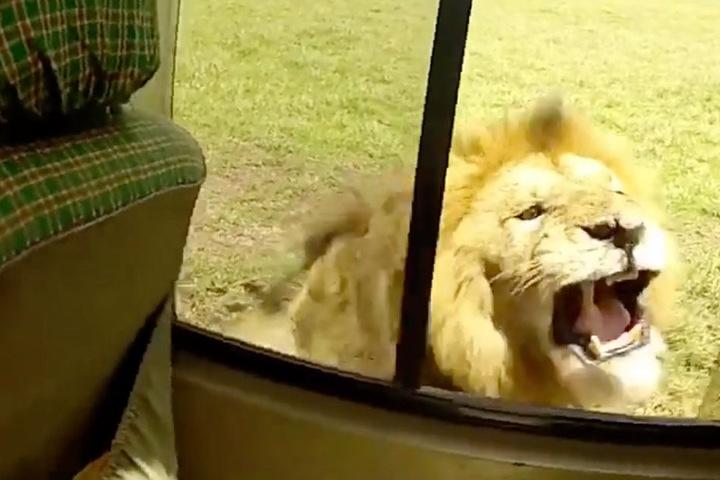 Der Löwe hätte ohne Probleme durch das offene Fenster in den Jeep gelangen können.