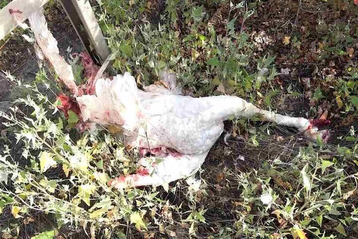 Der Schwanen-Papa überlebte den Unfall nicht und hinterlässt sechs Küken und seine Schwänin.